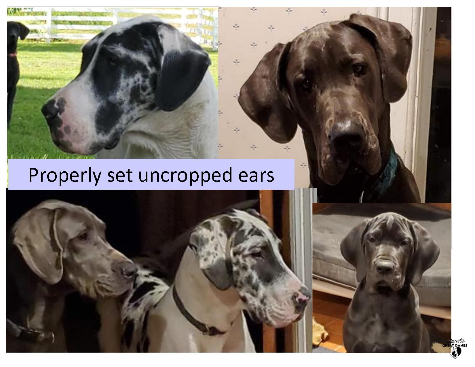 Proper uncropped ears